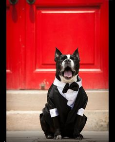 Winston Boston terrier in wedding