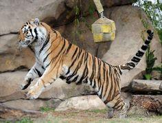 LSU Tigers mascot Mike VI plays in his habitat, December 2010.