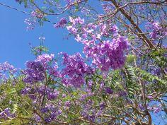 Jacarandas are Blooming!
