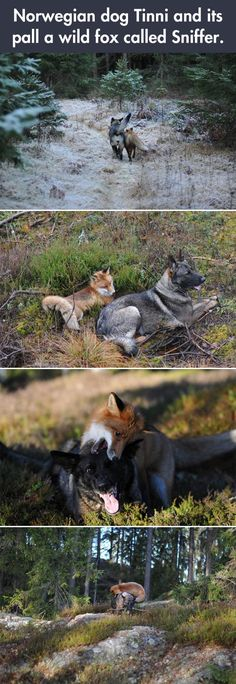 "Fox And Dog Are Best Pals - I know someone spelled ""pal"" wrong, but foxes are so damn cute I couldn't help but post this. If I could have one as a pet I totally would! I'm a total dog <3er too"