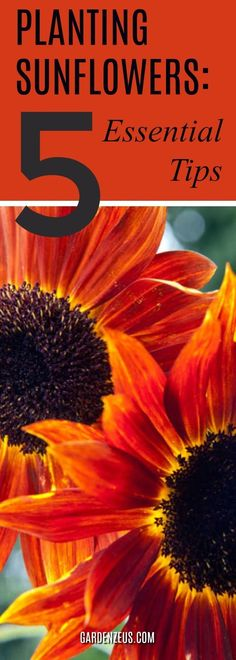 Planting sunflowers: 5 essential tips #sunflowers #springgardening #gardening #vegetables