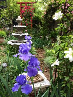 Iris, clematis, and roses in the herb garden
