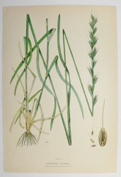 Darnel Grass Green Botanical Print 1923 Vintage Art Print Spring Gift Idea for the Home Cottage Garden Farm Nature Print Mothers Day Gift by OldMapsandPrints on Etsy