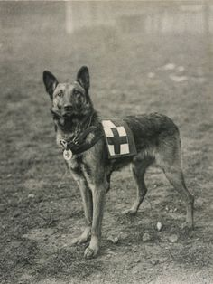 Malinois (Belgian Shepherd Dog) Trained for Work as a French Red Cross Dog Photographic Print