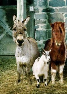 Donkey, Goat & Mini Horse