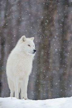 Arctic Wolf... looks just like Yuki dog. Now I understand why people think he's a wolf when we take him skiing!