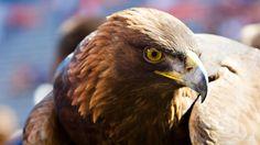 Auburn's 34-year-old golden eagle, War Eagle VI,  dies.  Love you Tiger War Eagle !!!!