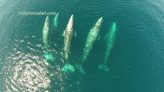 Drone Films 5 Whales Joining Pod of Dolphins off Dana Point From Above
