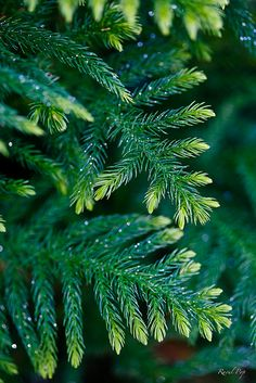 Evergreen sparkles by Raoul Pop