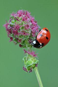 Seven-spot ladybird - Coccinella septempunctata by Heath McDonald on Flickr*