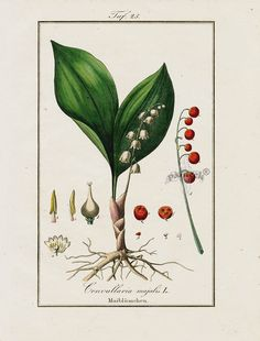 "Antique prints of ""Convallaria majalis"" from Eduard Winkler Medicinal Prints 1832"