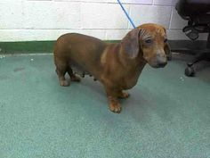 SAFE --- SUPER URGENt at Miami KILL Shelter MILLY  (A1584965) I am a female red Dachshund.   The shelter staff think I am about 2 years old and I weigh 22 pounds.   I was found as a stray and I may be available for adoption on 01/10/2014. — Miami Dade County Animal Services https://www.facebook.com/photo.php?fbid=697492166951856&set=a.217775651590179.64764.191859757515102&type=3&theater