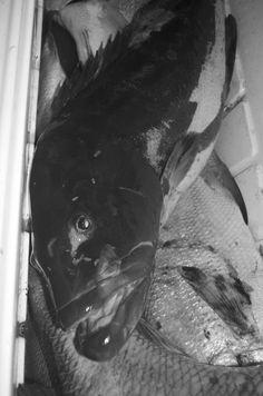 Black Groupuhh in da box #Mero #Negrillo #Black #Grouper #spearfishing #freediving #Tulum #Mexico