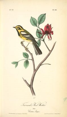 Townsend's Wood-Warbler. Male. (Carolina Alcspice [allspice].) From New York Public Library Digital Collections.
