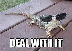 Bearded dragon funny #beardeddragonfunny