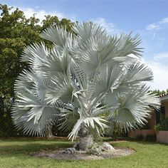 Photo de Bismarckia nobilis