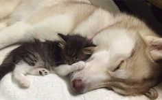 Perra siberiana adoptó y salvó la vida a una gatita al borde de la muerte