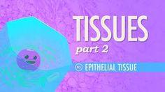 Tissues, Part 2 - Epithelial Tissue: Crash Course A&P #3
