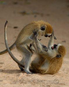 Vervet Monkey Smackdown. Photograph:  Billy Dodson.