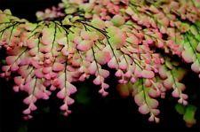 "Adiantum tenerum ""Sexy Pink"" PLANT,  Rare maidenhair fern"