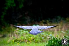 Flying pigeon by Funky Porcupine, via 500px