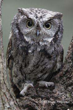 screech owl   Western Screech Owl In Tree Fork