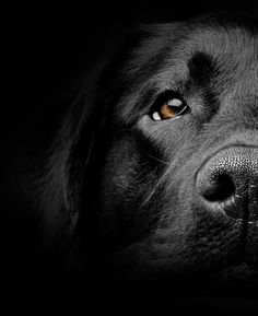 Mind Blowing Facts About Labrador Retrievers And Ideas. Amazing Facts About Labrador Retrievers And Ideas. Labrador Retrievers, Retriever Dog, Beautiful Dogs, Animals Beautiful, Cute Animals, Animals Images, Funny Animals, Labrador Noir, Labrador Puppies