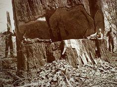 sequoia tree logging   Redwoods Photo Gallery, Redwoods Pictures, Redwoods Forests Wallpaper ...