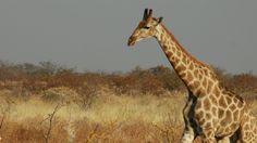 Novo estudo relata que as girafas emitem sons bem baixinhos de noite, como se fossem zumbidos.