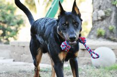fit dog, beauceron, berger de beauce, bas rouge, french shepherd, puppy