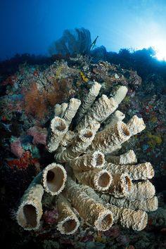 Menjangan sponge (by Luko Gecko)