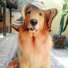 Batata the Golden ❤