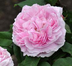 Jacques Cartier - portlandros med ceriesrosa, dubbla blommor. Blommar rikligt och länge juli-oktober med en stark, god doft som påminner om äpple. Blir ca 1,5x1,2 meter. Klarar sol-halvskugga.