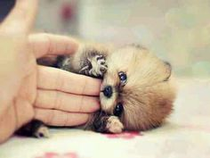 OMG, we'd let this Pomsky munch on our fingers for days. onomnomnomnom    #cute #pomsky #husky #dog #puppy