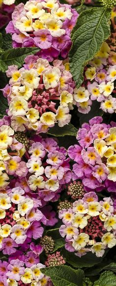 Here's a heat and drought tolerant plant new this season. Pinkberry Blend requires nothing but a bit of water now and then. Gardening couldn't get easier than with this variety. Garden Shrubs, Landscaping Plants, Garden Plants, Exotic Flowers, Pink Flowers, Beautiful Flowers, Sun Loving Plants, Sun Plants, Lantana Camara