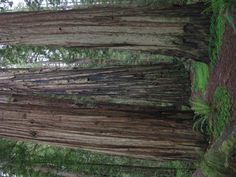 Redwood Forest, CA - hoping to knock this one out while we're still living in the West.