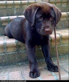 Chocolate Lab Puppy Cuteness • from http://APlaceToLoveDogs.com • dog dogs puppy puppies cute doggy doggies adorable funny fun silly photography