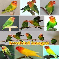 Lovebird images