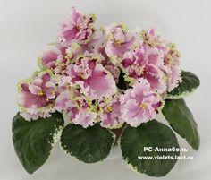 ☘ RS-ANNABELLE ☘ African Violet Plant Saintpaulia ☘ Starter Plug Ukrainian