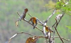 Bagaimana cara agar burung anis Merah Bisa Teler ? Burung Anis Merah memang menjadi salah satu burung populer yang ada di kalangan masyarakat, bukan hanya populer dijadikan sebagai burung kicauan n…