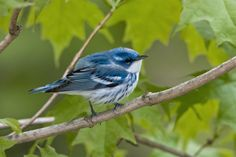 Cerulean Warbler   Audubon Field Guide