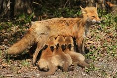 red forest fox. One poor, tired mama.