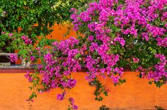 Bougainvillia in Greece Bougainvillea, World Best Photos, Color Splash, Places To Travel, Greece, Rose, Plants, Spaces, Colour