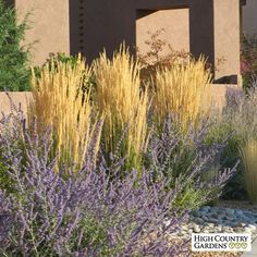 K - Feather Reed Grass. Calamagrostis acutiflora Karl Foerster in Fall with Russian Sage