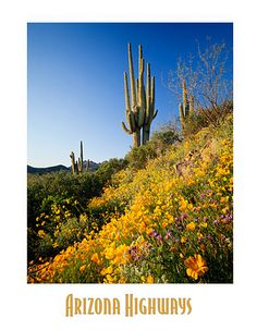Saguaro and Superstition Mountains in AZ , Arizona Highways  About this Print:  Saguaro cacti crown a Superstition Mountains hillside vibrant with Mexican goldpoppies, desert sunflowers and phacelia.