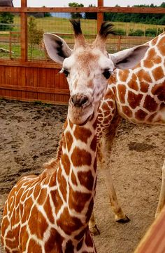 Tajiri the Giraffe Showing Off Todayvs Does April the Giraffe Go Outside | Today update photos and news on April the Giraffe