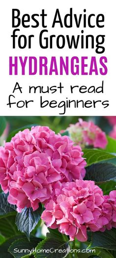 Hydrangeas are a beautiful flowering shrub. Here are some care tips and growing ideas on spots to plant your hydrangea shrub, watering and more. garden beautiful Hydrangea Care and Growing Tips Hydrangea Shrub, Hydrangea Care, Growing Hydrangea, Hydrangea Flower, Container Gardening, Gardening Tips, Fru Fru, Flowering Shrubs, Garden Planning