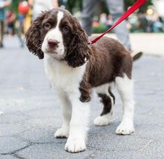 Troy ~ English Springer Spaniel Pup ~ Classic Look Puppies And Kitties, Cute Puppies, Pet Dogs, Corgi Puppies, Weiner Dogs, Husky Dog, Doggies, Sweet Pictures, Puppy Pictures