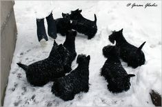 INVISIBLE TOUCH KENNEL My Scotties on snow Photo by Goran Gladic