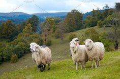 Sheep in mountain Photos Sheep herd on mountain plateau pasture (Carpathian mountain, Ukraine). by YuriyB